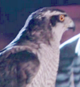 The face and chest of a hawk with white feathers, and black mask-like coloring surrounding his bright yellow eye.