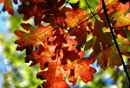 Close up photo of oak leaves turned red in fall