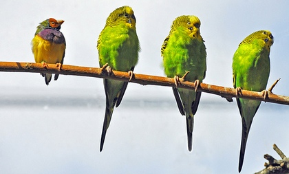 A small yellow bird looks at three large green birds sitting on the same branch, looking in the other direction