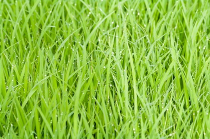 Bright green rice grass leaves